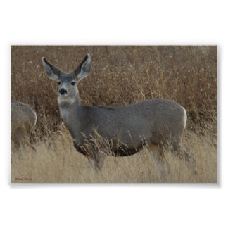 D0014 Mule Deer Doe poster