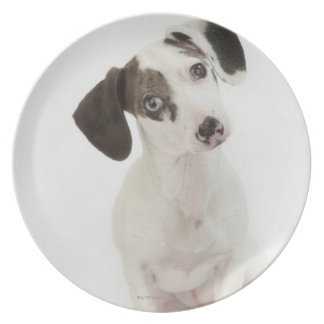 Dachshund/Chihuahua female puppy staring Plate