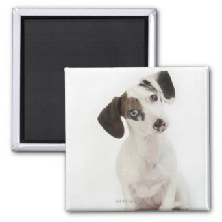 Dachshund/Chihuahua female puppy staring Square Magnet