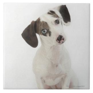 Dachshund/Chihuahua female puppy Tile