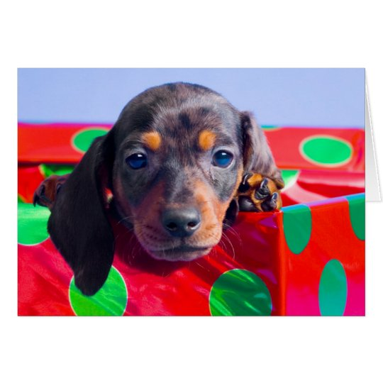 Dachshund puppy in gift box card
