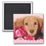 Dachshund Puppy Surrounded by Roses Magnets
