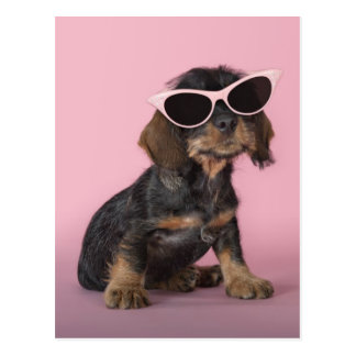 Dachshund puppy wearing sunglasses postcard