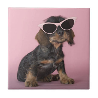 Dachshund puppy wearing sunglasses tile