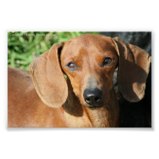 Dachshund Red Smoothcoat Photo Poster
