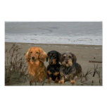 Dachshunds Closeup Beach Poster