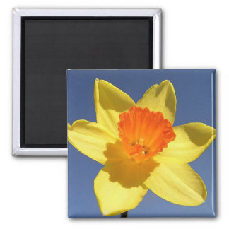 Daffodil Against Blue Sky Square Magnet