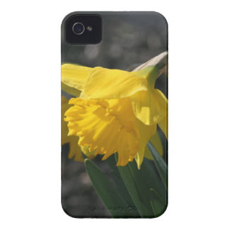 daffodil blackberry bold covers