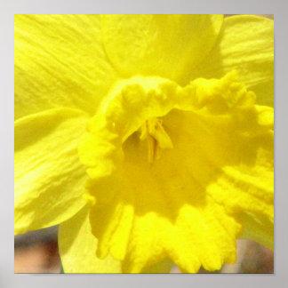 Daffodil Classic Poster Print