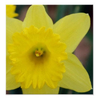 Daffodil close-up poster