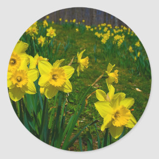 Daffodil Delight Classic Round Sticker