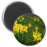 Daffodil Delight Refrigerator Magnet