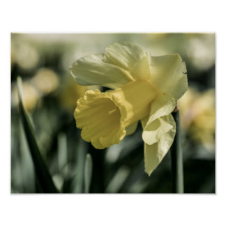 Daffodil Flower Photography Posters