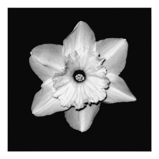 'Daffodil Portrait' Photographic Print