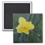 Daffodil Refrigerator Magnet