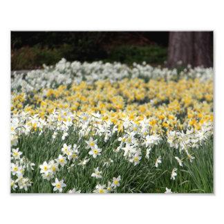 Daffodil Spring Photo Art