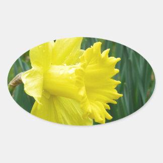 daffodil trumpets oval sticker