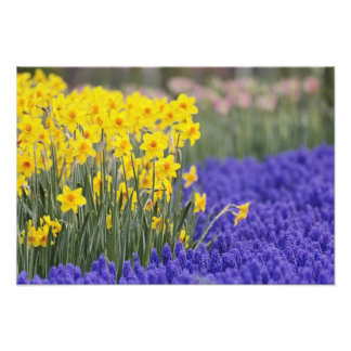 Daffodils and Grape Hyacinth, Keukenhof 2 Photo Print