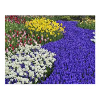 Daffodils and Grape Hyacinth, Keukenhof 2 Postcard