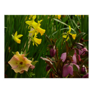 Daffodils and Lenten Roses Poster Print