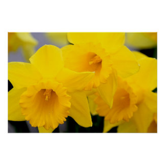 Daffodils Flowers Poster