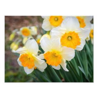 Daffodils in England, Europe Photo Print