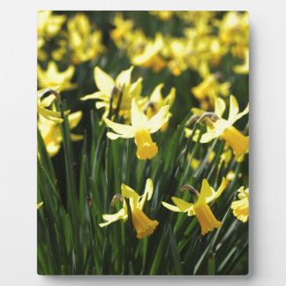 Daffodils in Spring Plaque