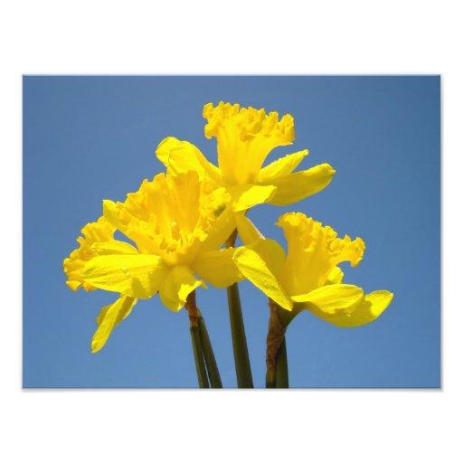 Daffodils Photography nature art prints Blue Sky Photo Art