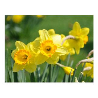 Daffodils Postcard