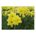 Daffodils RF)