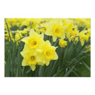 Daffodils RF) Photo Art
