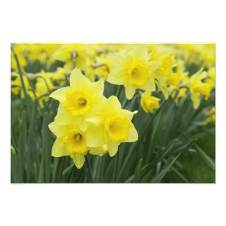 Daffodils RF) Art Photo