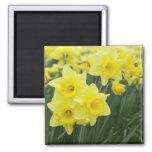 Daffodils RF) Square Magnet
