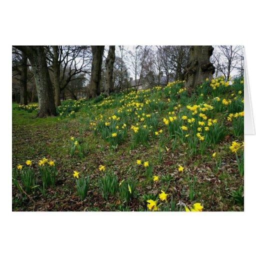 Daffodils. Sophia Gardens, Cardiff, Wales. UK Greeting Cards