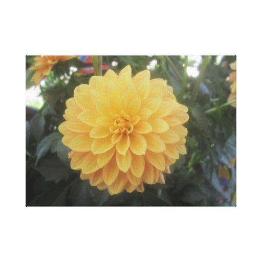 Dahlia Collection Stretched Canvas Print