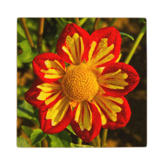 Dahlia, dahlia farm, Canby, Oregon, USA 1 Wood Coaster