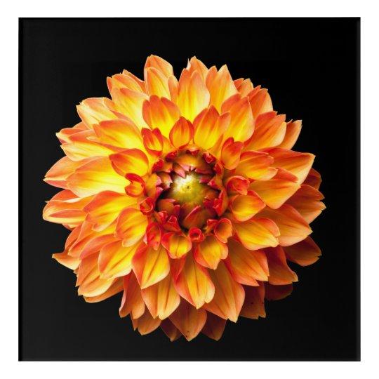 Dahlia flower acrylic wall art. acrylic print