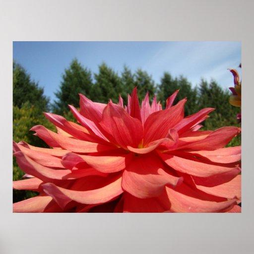 Dahlia Flower Floral Art Prints Orange Dahlias Posters