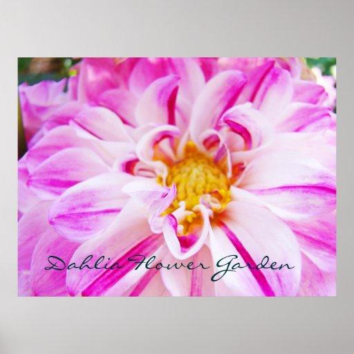Dahlia Flower Garden art prints Pink Purple Dahlia Posters