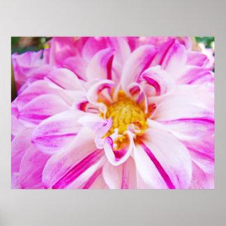 Dahlia Flowers Garden Floral art prints Pink White Posters