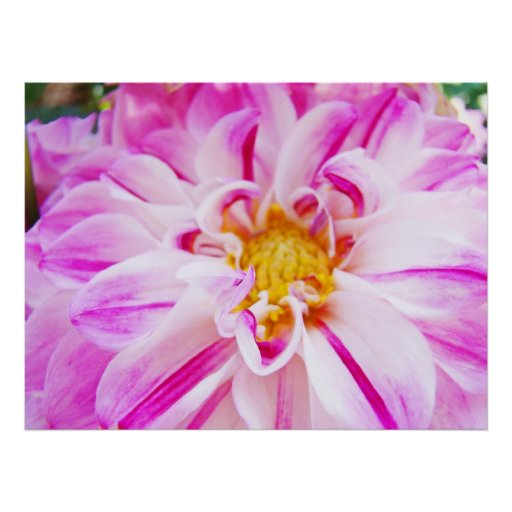 Dahlia Flowers Garden Floral art prints Pink White Posters