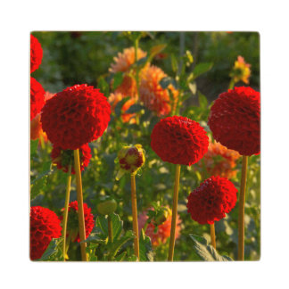 Dahlias, dahlia farm, Canby, Oregon, USA 3 Wood Coaster