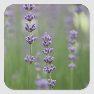 Dainty Lavender Flowers Square Sticker
