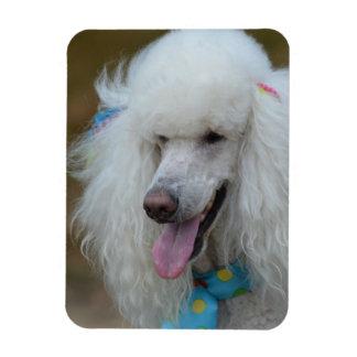 Dainty White Poodle Rectangular Photo Magnet