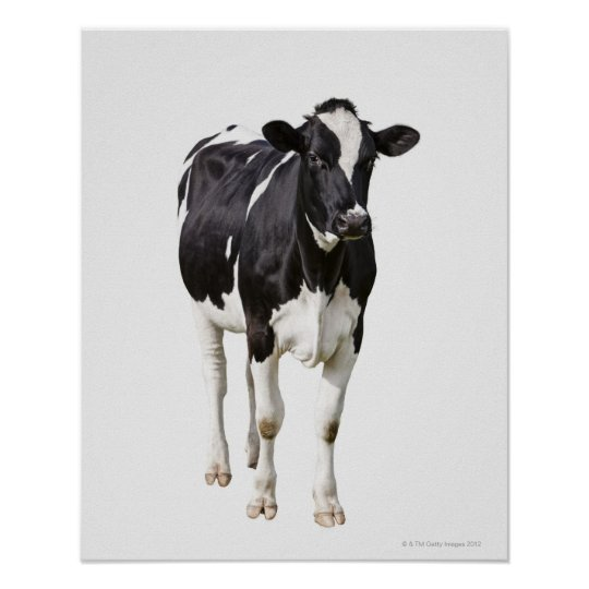 Dairy cow (Bos taurus) on white background Poster