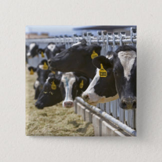 Dairy cows at a feedlot in Grandview, Idaho. 15 Cm Square Badge