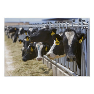 Dairy cows at a feedlot in Grandview, Idaho. Poster
