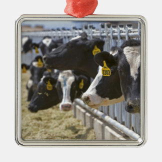 Dairy cows at a feedlot in Grandview, Idaho. Silver-Colored Square Decoration
