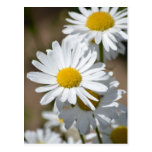 Daisies in Spring Postcard
