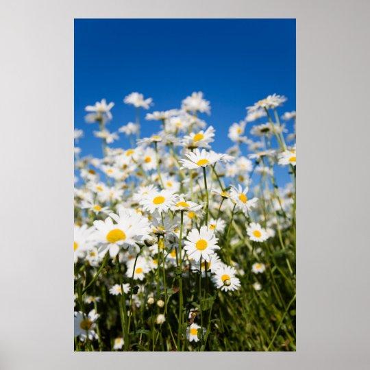 Daisies poster/canvas print
